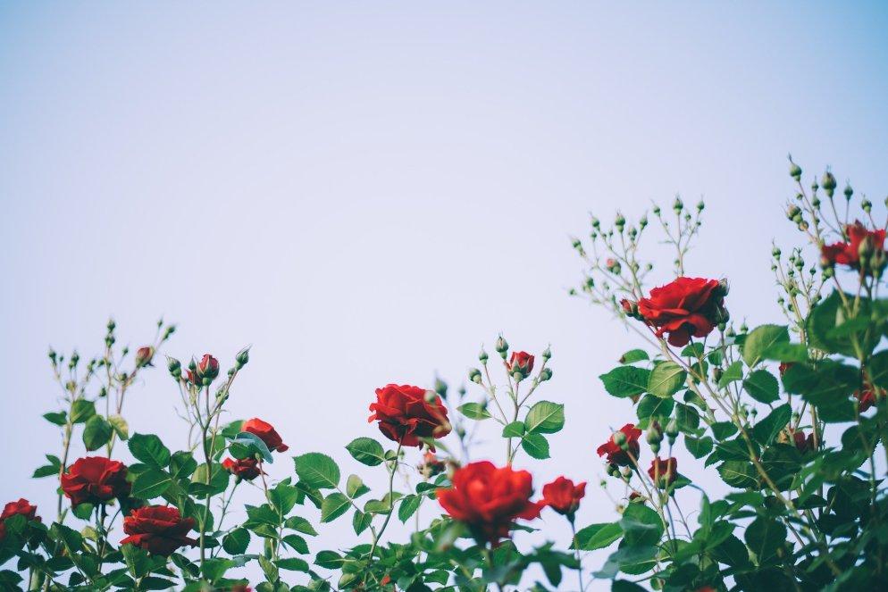 rose-4359808_1920